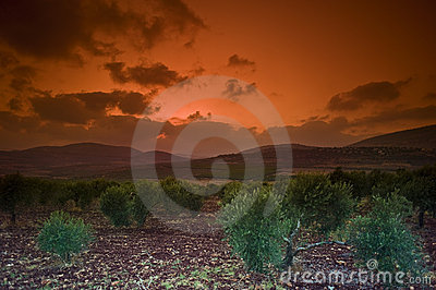 Olive grove sunset