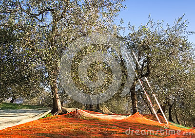 Olive grove traditional harvest method, Italy