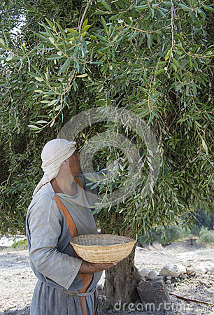 Olive harvest Editorial Image