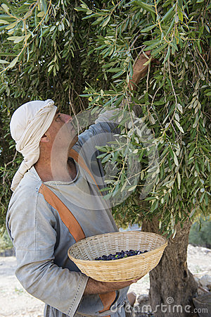 Olive harvest Editorial Stock Image