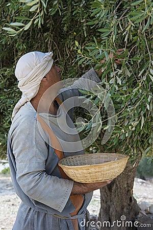 Olive harvest Editorial Photo