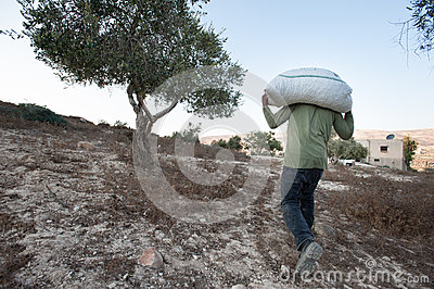 Olive harvest in Palestine Editorial Image
