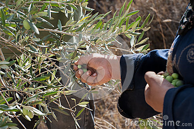 Olive harvest in Palestine Editorial Image
