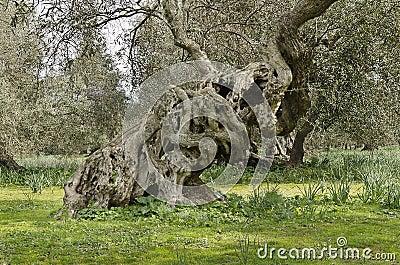 Olive knots