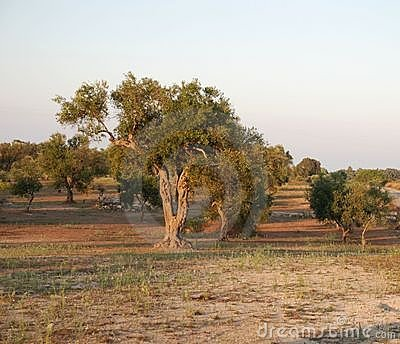 Olive Orchard, South Italy