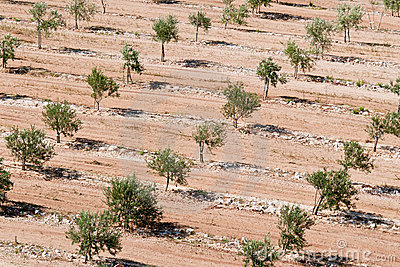 Olive plantation in summer