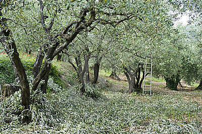Olive Pruning