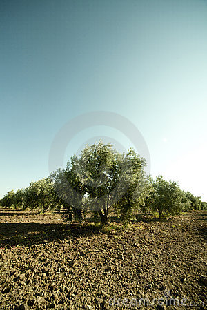 Olive regular trees