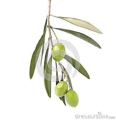 Olive sur la branche