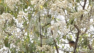Olive Thrush op een boom stock footage