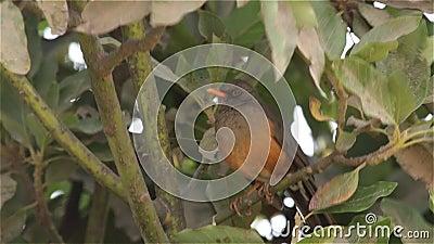Olive Thrush op een boom stock video