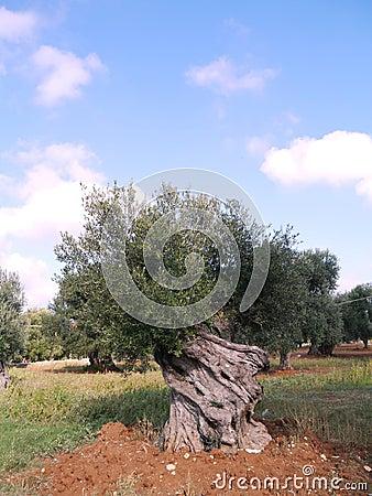 Olive tree in autumn