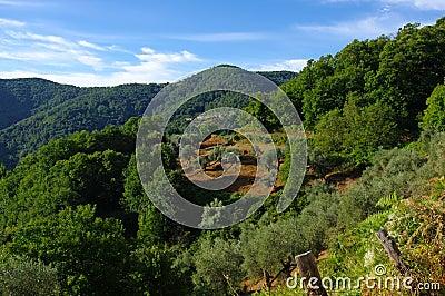 olive tree in castagniccia