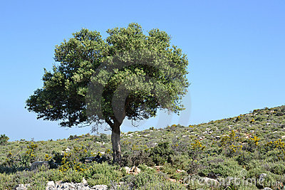 Olive tree in the hillocks.