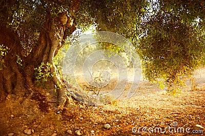 Olive Tree idosa
