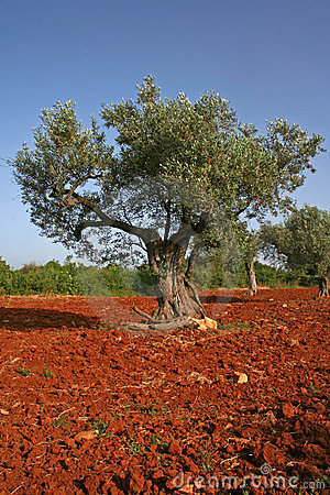 Free Olive Tree On Red Soil Royalty Free Stock Image - 926646