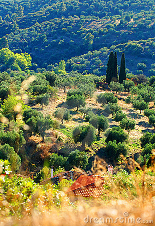 Olive tree orchard on Greek hillside