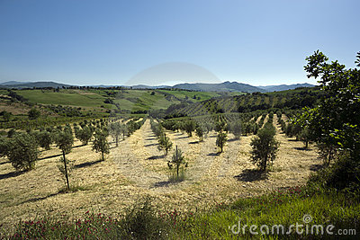 Olive tree plantation in tuscany landscape