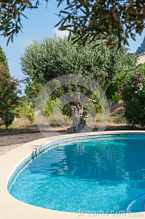 Olive Tree By The Pool Stock Photo Image 51578548