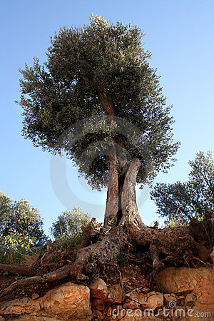 Olive tree and roots