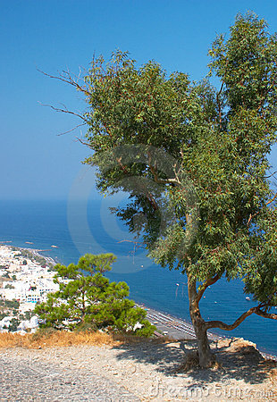 Olive tree Santorini Greece