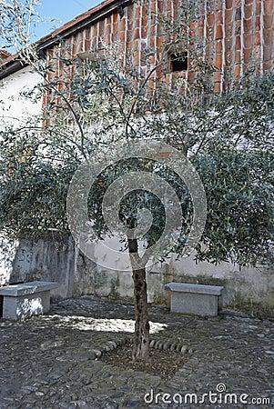 Olive Tree Urban