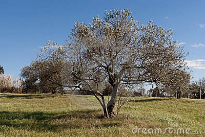 Olive Tree In Winter Royalty Free Stock Photo - Image: 23414765