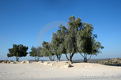 Olive trees against blue sky