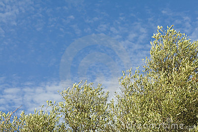 Olive trees with a blue sky & small clouds
