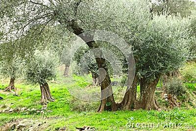Olive trees in Crete