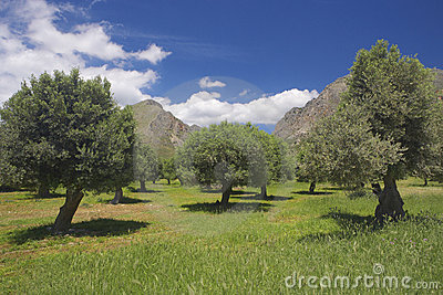 Olive trees in crete, Greece