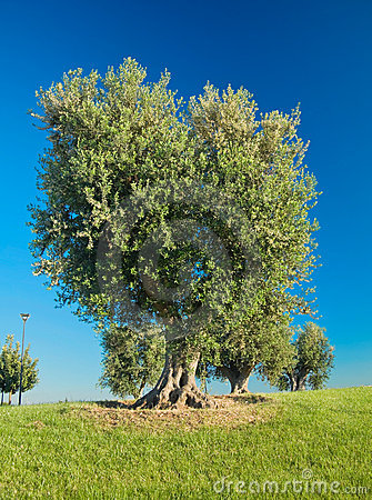 Free Olive-trees Hill. Stock Image - 14505561