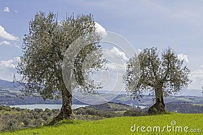 Olive trees n Tuscany