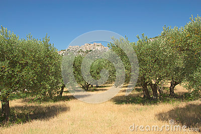 Olive trees in row.