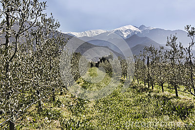 Olive trees in rows beneath the snowy peaks