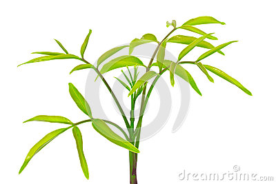 Olive treetop