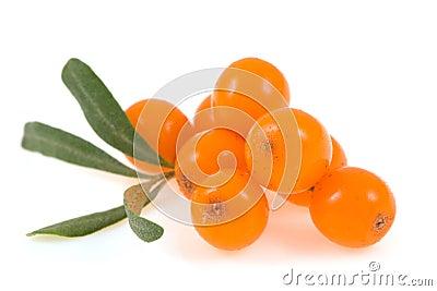 Olivello spinoso isolato