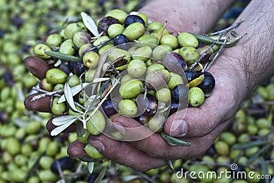 Oliven in den Händen