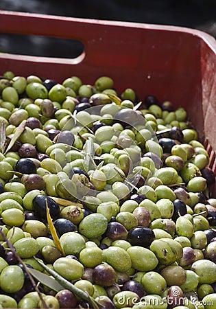 Oliven im Kasten