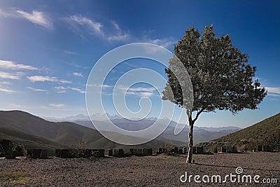 Olivenbaum auf dem Hügel, Korsika
