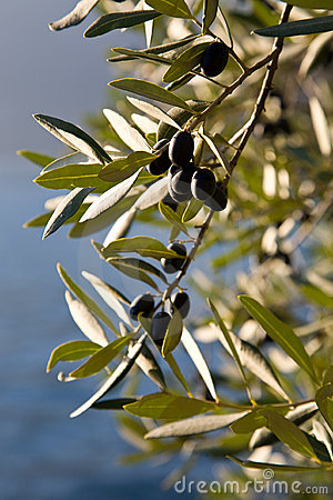 Free Olives Royalty Free Stock Photos - 7109778