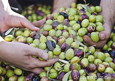 Olives dans des quatre mains