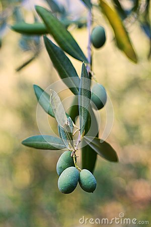 Olives growing