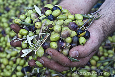 Olives in hands