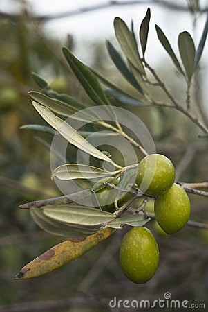 Olives sur le branchement