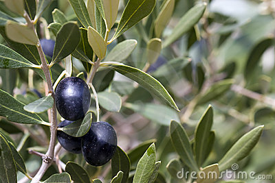 Olives in Tree - black
