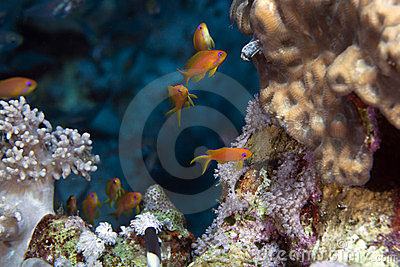Oman anthias in the Red Sea.