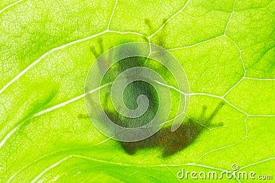 Ombra della rana sulla foglia