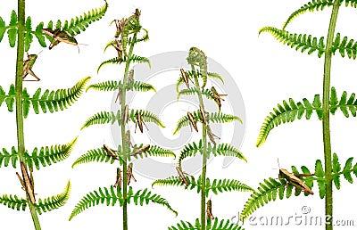 蚂蚱omocestus rufipes森林地