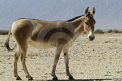 The onager, Israel